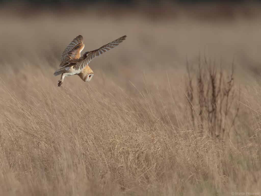 11. Barn Owl