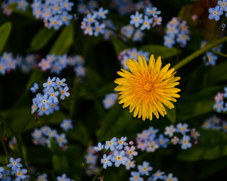 One dandelion in the forget-me-nots
