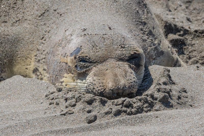 Elephant Seal 3-2.jpg