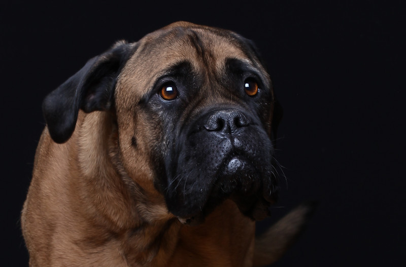 Mastif-lr4.jpg