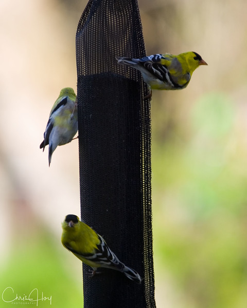gold finches.jpg