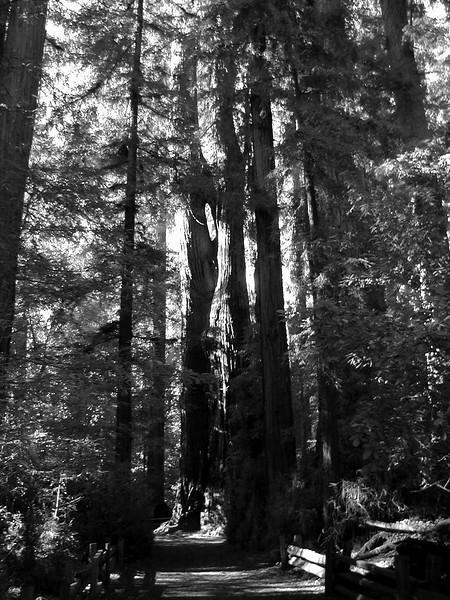 California Redwoods Cowell State Park (7).jpg