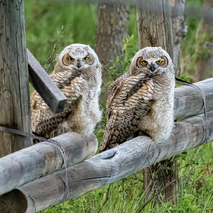 6-1-20 Great Horned Owlets