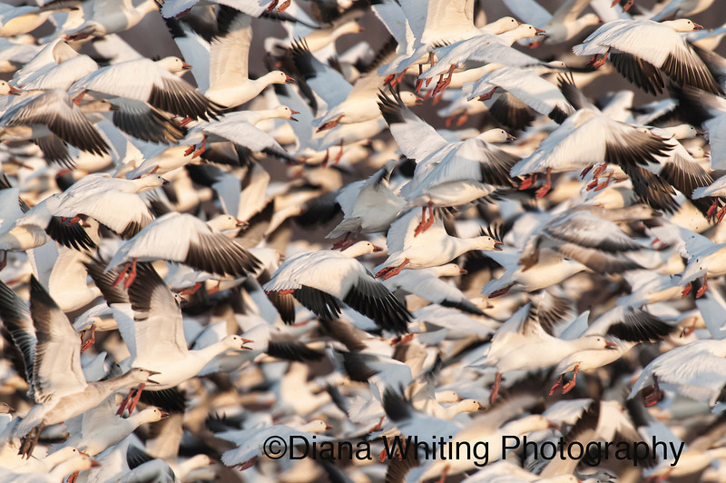 Snow Geese in Close Formation