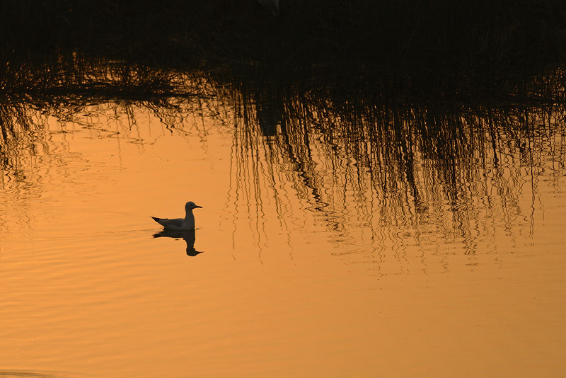 Gull-at-Sunrise.jpg