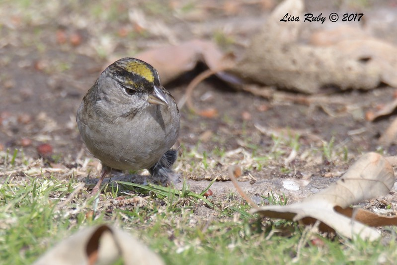 Golden-crowned Sparrow  - 12/22/2017 - South Creek Park, Sabre Springs