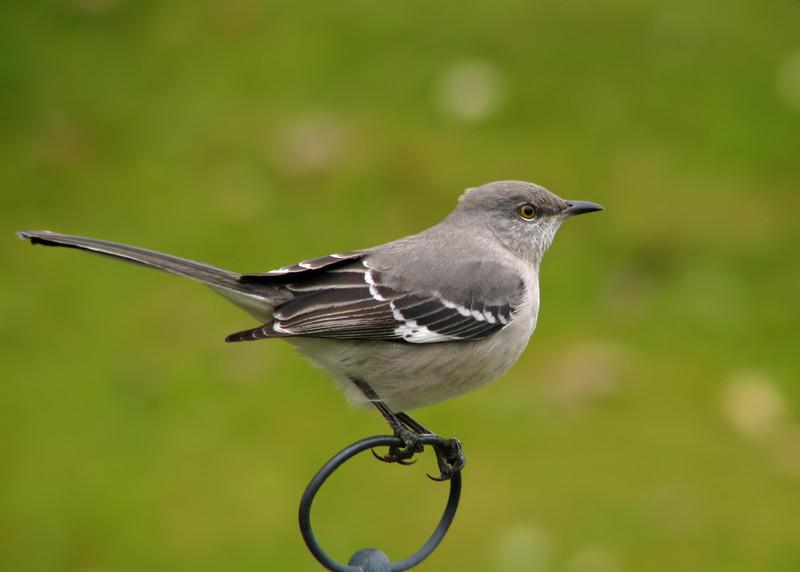 mockingbird_8052.jpg