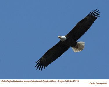 Bald Eagle A23713.jpg