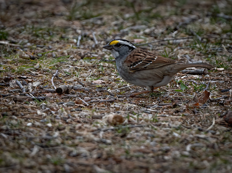 _6001217 White-throated Sparrow (white-striped form)-Edit.jpg