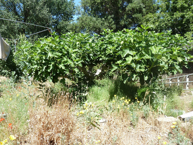 6-3-2012:  It is pretty late to thin, lots of figs have already started growing.