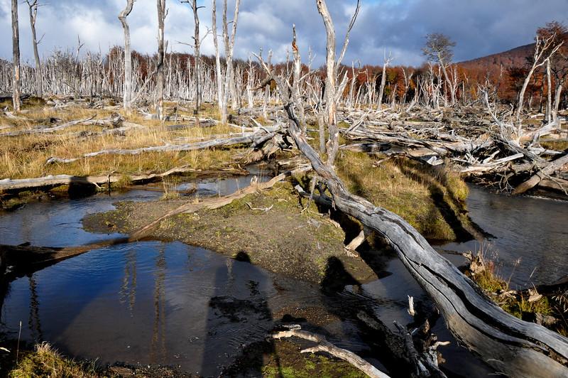 2012 Karukinka beaver damage 2.jpg
