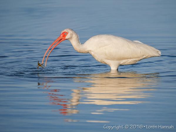 12/19/16 WHITE IBIS (with Crab Breakfast! ;) - Fort Desoto - Tierra Verde, FL