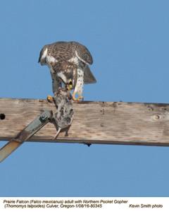 Prairie Falcon A & Norther Pocket Gopher 80345.jpg