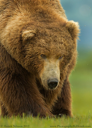Grizzly and Brown Bears