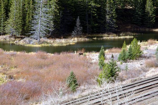 11 2012 Nov 16 Mother Moose & Calf