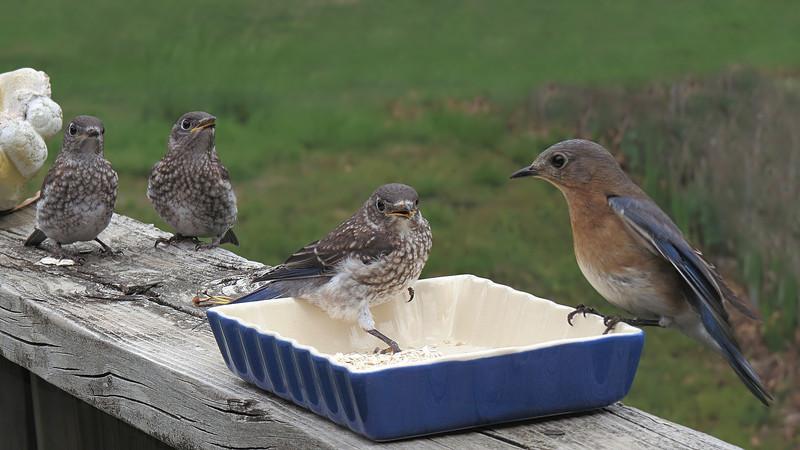 sx50_bluebird_fledgling_faith_213.jpg