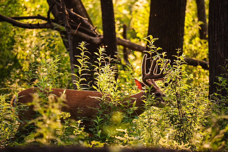 backlit male deer eating underbrush at sunset
