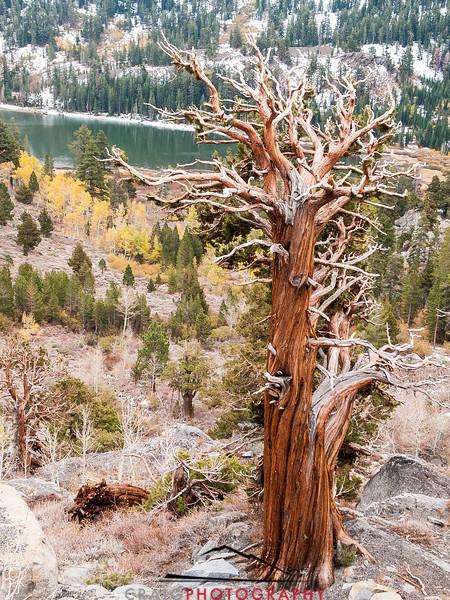 Carson Pass Trees 2