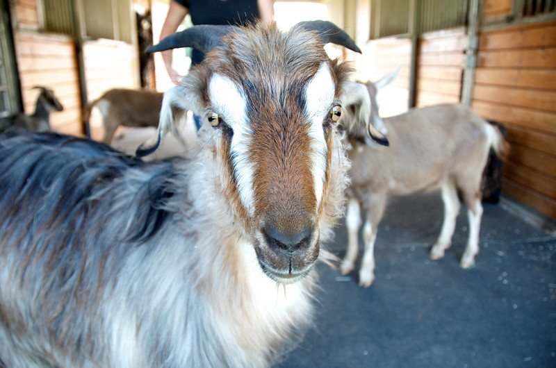 Abby's Goats