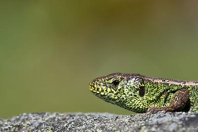 Lizards / Ödlor