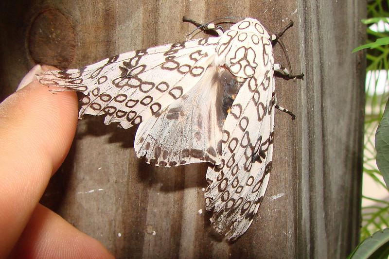 Hypercompe scribonia (Giant Leopard Moth) female.  TX: Tarrant Co. (Duhons' Fort Worth yard), 17 September 2009.