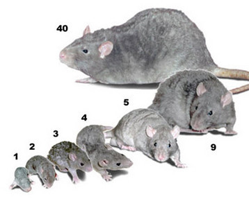 Sexing Rats: Is This Rat a Boy or a Girl? - RattyRat