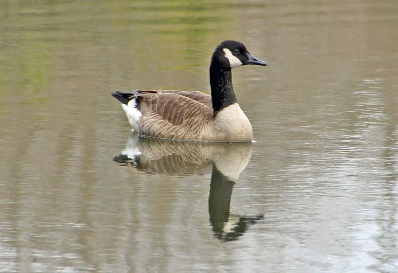 Goose reflection