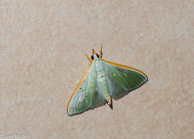 Malaysian Moths and Butterflies - Papillons de Malaysie