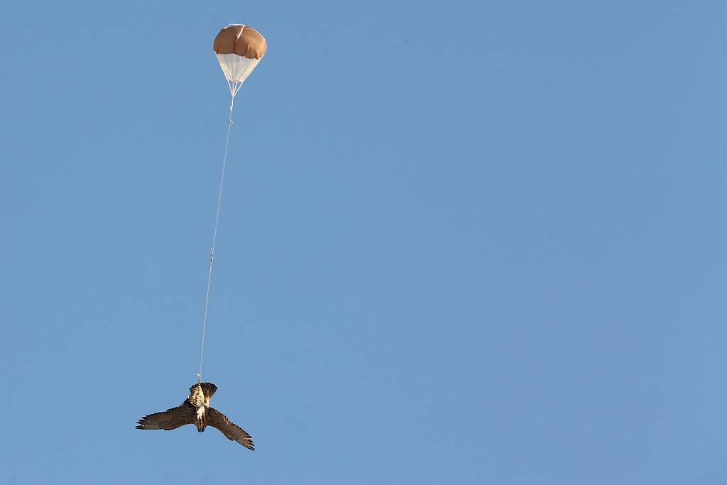 . A Falcon catches bait from a helicopter drone before returning to the ground with a small parachute on February 3, 2015 in Abu Dhabi, United Arab Emirates. (Photo by Dan Kitwood/Getty Images)