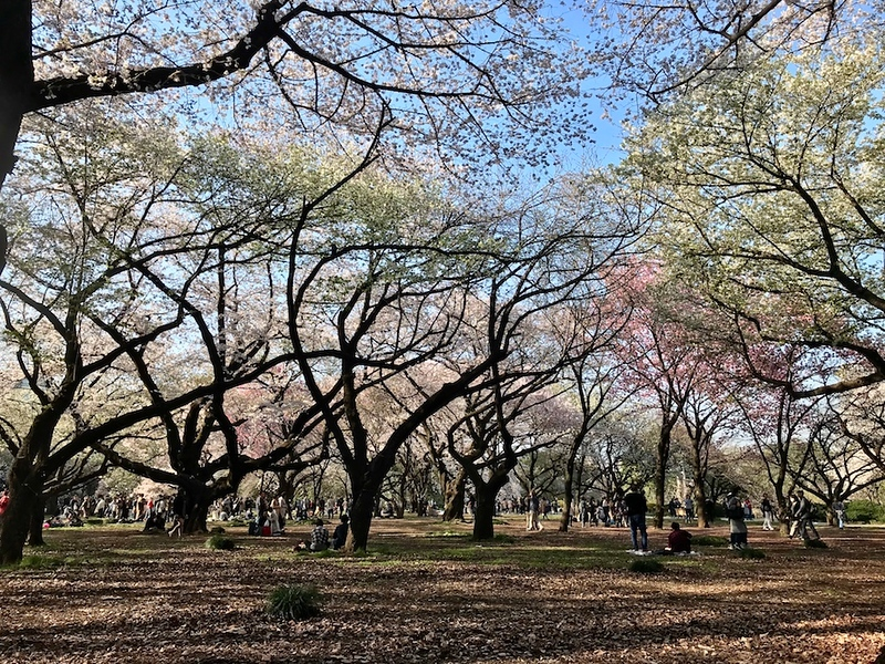 Cherry trees at Shinjuku Gyoen.