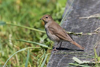 Thrush Nightingale ~ Nattergal