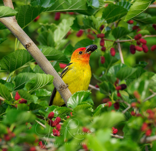 Western Tanager feasting on Mulberries