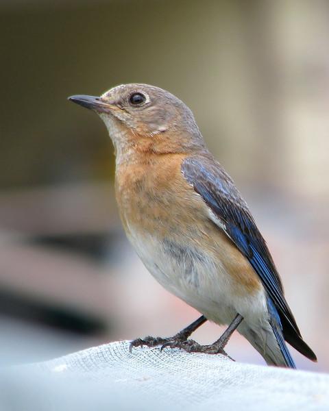 bluebird_8722.jpg