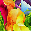 Calla Lily Rainbow