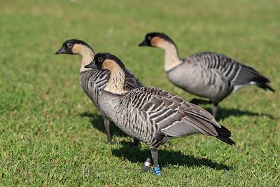 Nene or Hawaiian Geese