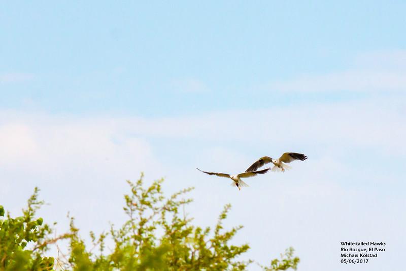 IMG_3158 3T White-tailed Hawks Rio Bosque.jpg