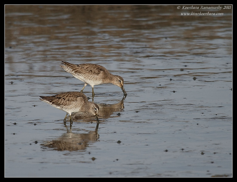 Short-Billed Dowitchers, San Elijo Lagoon, San Diego County, California, February 2011