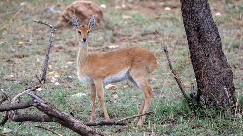 Tanzania-Serengeti-National-Park-Safari-Impala-01.jpg