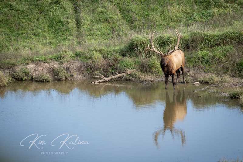 Elk Reflection-05166.JPG