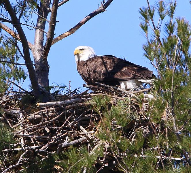 eagle with nest.jpg
