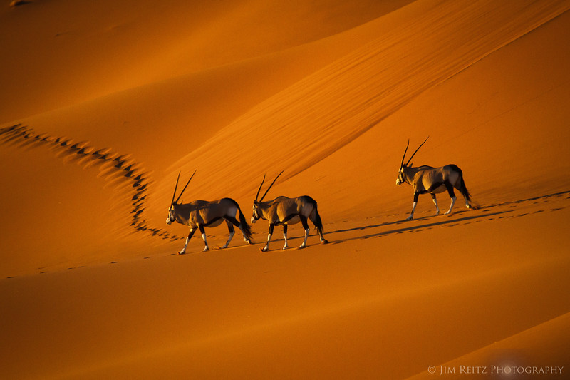 A trio of Oryx on an early-morning trek thru the orange sand dunes of Sossusvlei - in Namib-Naukluft National Park, Namibia.