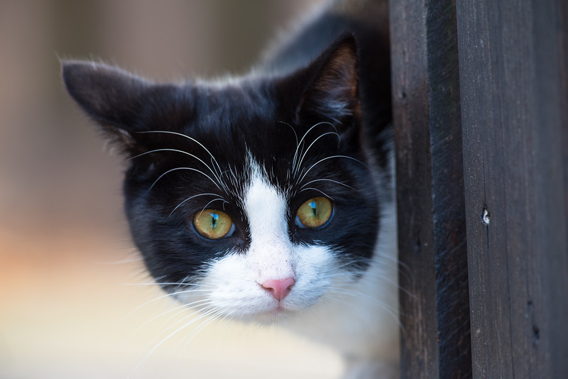 Cat , Katt , Sune
