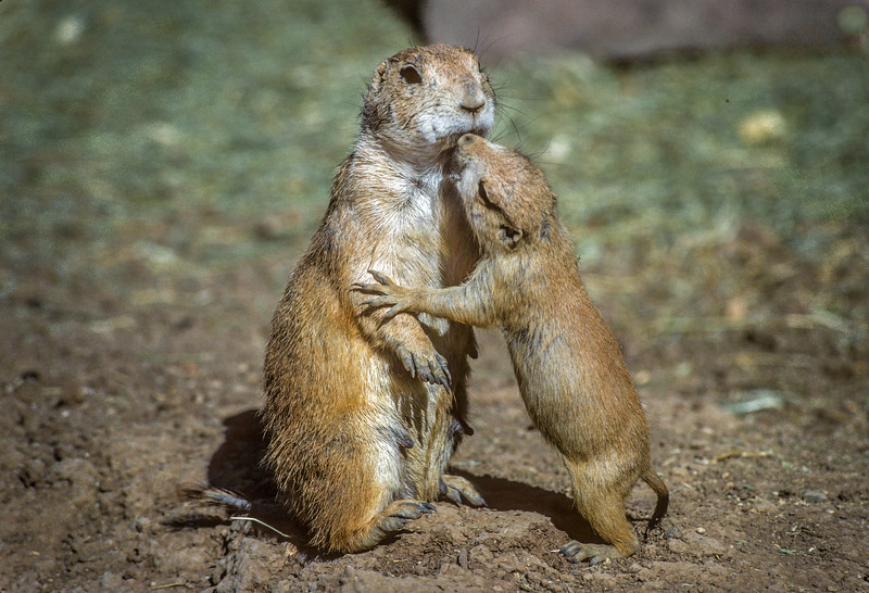 Black-tailed Prairie Dog  Mother and Pup #1
