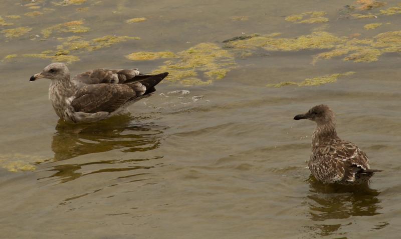 Herring Gull  Western Gull San Luis Rey Oceanside 2013 10 02-1.CR2