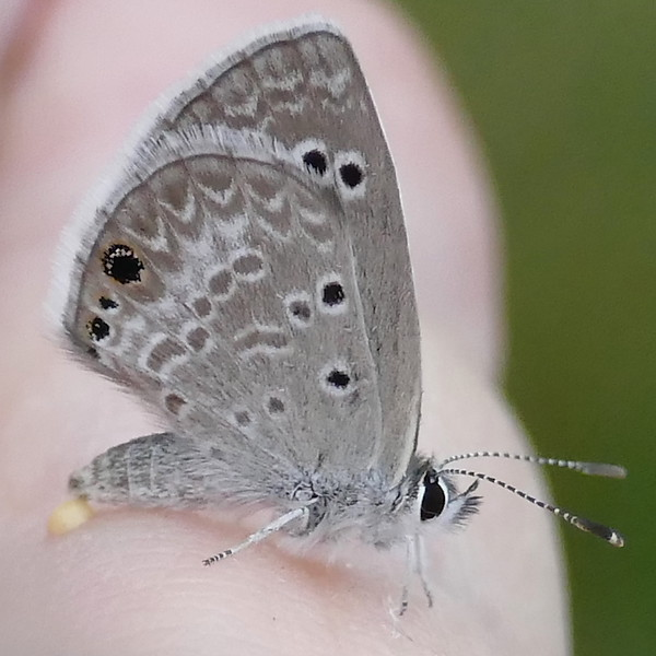 H04360  P180EchinargusIsola-612 May 2, 2019  8:20 a.m.  P1800612 Here is a Reakirt's Blue, Echinargus isola, at LBJ WC.  It was a cool morning and it couldn't quite muster the flexibility to fly off at first.  Lycaenid.