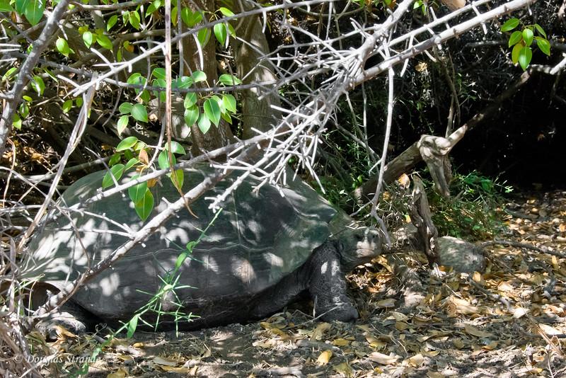Giant Tortoise enjoying a shady spot at Urvina Bay, Isabela