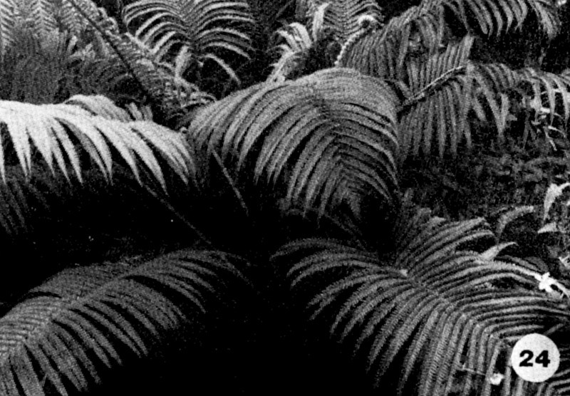 24. Sadleria cyatheoides Image from the Kaala Bog Plant Guide: Kaala Natural Area Reserve, Mt. Kaala, Oahu, a 1992 publication of the State of Hawaii (DLNR/DOFAW) .
