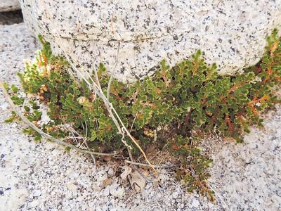 Desert Spikemoss (Selaginella eremophila)