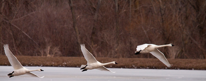2011 swan migration aylmer (34 of 51).jpg