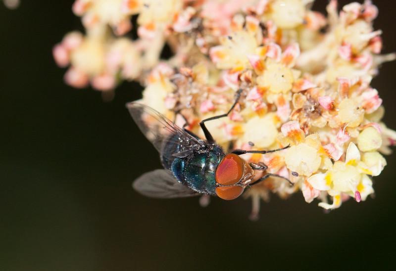 fly on mango blossom-2.jpg